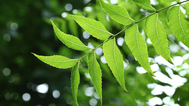 neem-leaves-for-yellow-teeth