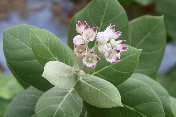 - aak health benefits - ये पौधा मोटापे को कम, शुगर 7 दिन में तो गठिया 21 दिन में ख़त्म कर सकता है