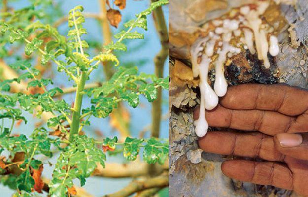- boswellia shallaki benefits - घुटने बदलवाने की नौमत आ गयी है तो पहले 10 दिन तक ये आयुर्वेदिक उपाय करें और फिर निर्णय करें